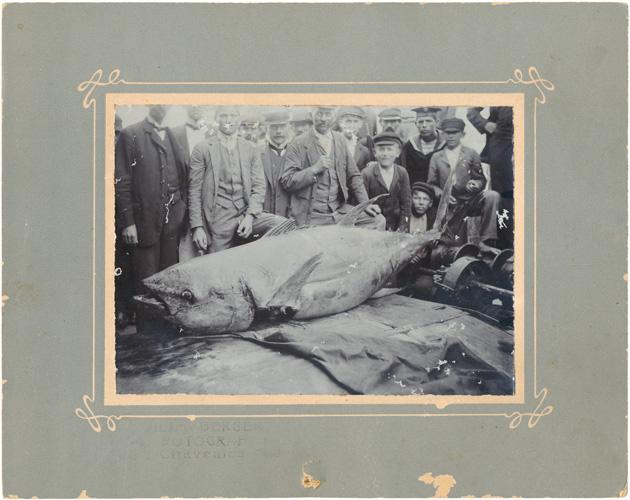 Tuna ulovljena na tuneri <em>Lukovo Otočko</em> u vlasništvu obitelji Skomerža, Muzej Grada Crikvenice