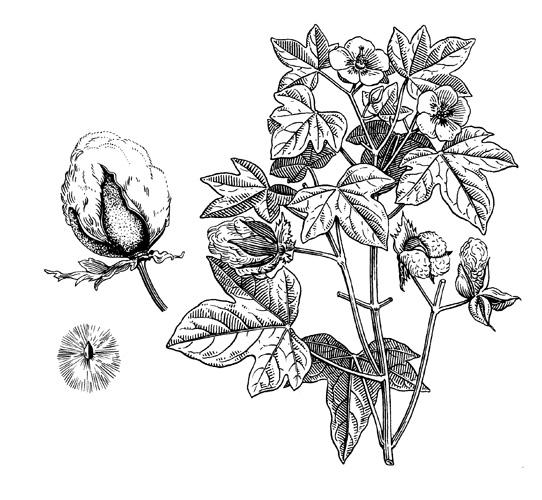 <em>Gossypium herbaceum</em>