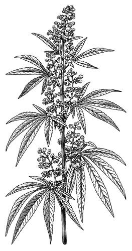 <em>Cannabis sativa</em>