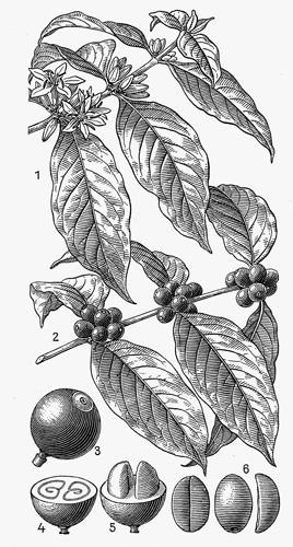 Caffea arabica, 1. grančica s listovima i cvjetovima, 2. grančica s listovima i plodovima, 3. plod, 4., 5. presjek ploda, 6. sjemenka