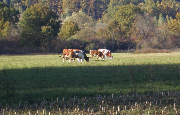Goveda na šumskom pašnjaku, Rakovica