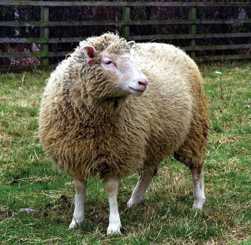 Prva klonirana životinja bila je ovca
