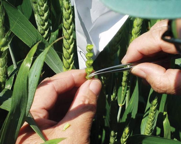 Križanje pšenice, Zavod za oplemenjivanje bilja, genetiku i biometriku, Agronomski fakultet u Zagrebu