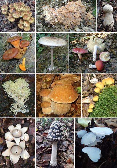Gljive raširene u Hrvatskoj; masnočehava ljuskavica, puza, tikvasta puhara, zavodnica, sunčanica, žarkocrvena krasnica, zlatna capica, ljetni vrganj, sumporača, trepavičava zvjezdača, šarena gnojištarka, hladetinasta ledenka